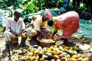 Cocoa Farmers Need to Be Included in Industrial Ownership