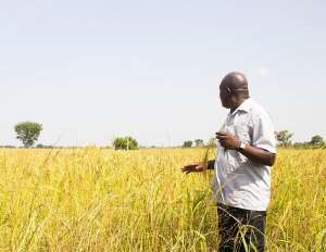 The Untold Story Of The Ghanain Farmer, A Case Study Of The Rice Farmer [Part1]
