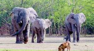 Elephant Invasion Imminent -Wildlife
