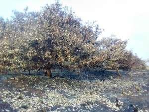 Fire Destroys 150 Maize Farms In Bono East