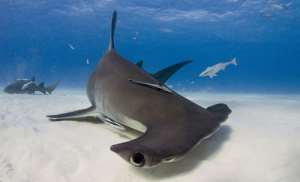 'While human fatalities from sharks average six per year, humans kill 100 million sharks every year.' – William McKeever