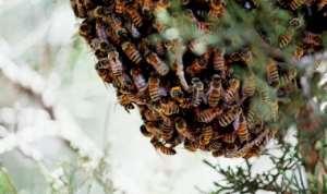 Nsawkaw: Bees Kill 74-year-old Cashew Nut Farmer