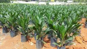 Akwatia: Denkyembour District Assembly Give Seedlings To Farmers