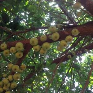 Wiamoase 'Apple' Tree Is Species Of Fig — Dr Irene Idan