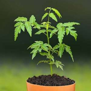 The African continent has long depended on the leaves of the neem tree for treating malaria