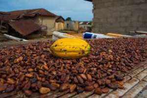 Cocoa Floor Price: Civil Society Group Commends COCOBOD