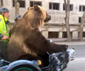 Massive bear shocks drivers with casual motorcycle ride