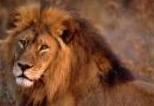 Chief makes fast recovery after battling lion