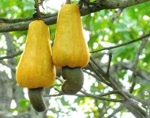 Covid 19: Cashews fruit boost immunity & fight Hypertension