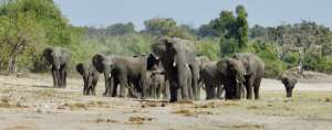 CITES-CoP18 misses a golden opportunity to protect elephants:  EU is the main culprit