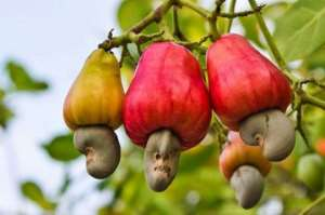 Collaborate With Chiefs For Cashew Production