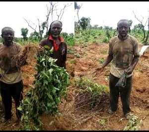 S/R-Marauding Elephants Destroys Farms In West Gonja District