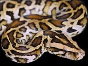 Pythons are not venomous and generally no threat to humans