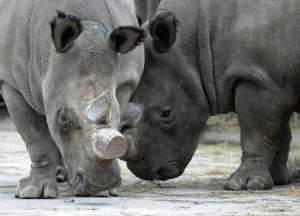 Northern White Rhinos, Fatu and Nabiro, pictured at a zoo in Dvur Kralove, Prague, on  December 16, 2009.  By Michal Cizek (AFP/File)