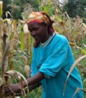 It s harvest time in Bommett, in south-west Kenya. Like many other farmers, Anne Rono stands amongst dry maize leaves, bringing in the harvest with the help of the seven children.