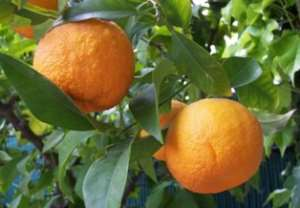 Citrus farmers call for the establishment of a Marketing Board