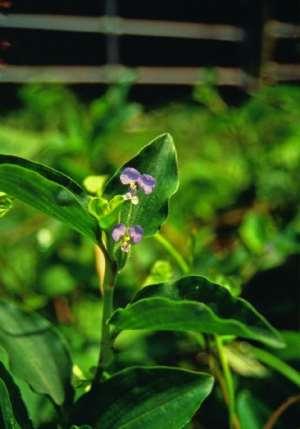 Ghanaian Plants Effective in Wound Healing
