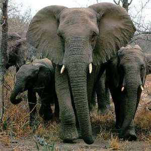 Who can stop the Elephants?