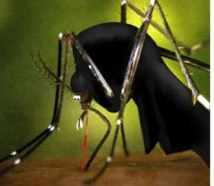 Anopheles mosquitoes spread malaria