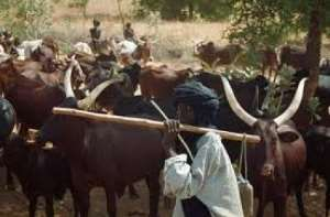 Farmers At Nkudwua Send SOS Message For Help As Fulanis And Their Cattles Invade Community