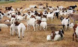 Chief At War Over Goat Rearing