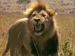 Chief survives attack from lion