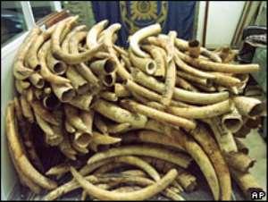 Congo Republic burns its entire stockpile of seized ivory