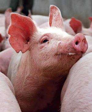 WHO to stop using term 'swine flu' to protect pigs