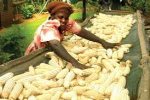 Are Farmers and Consumers Being Fleeced by Maize Market Queens?CUTS Report