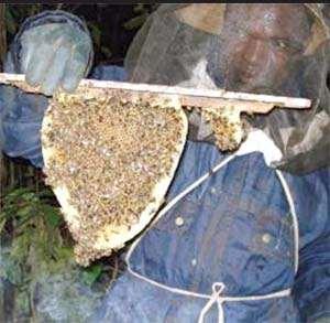 A beekeeper with Kenya brood comb