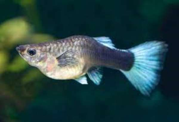 Pregnant Fish