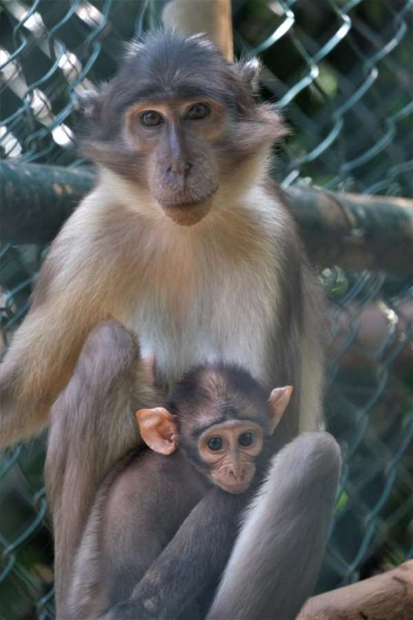 West African Primate Conservation Action announces the birth of rare monkey at Accra Zoological Gardens