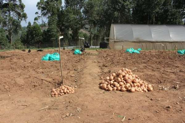 Harvest from a confined field trial in Uganda shows a significantly higher yield (right) for the 3R Victoria potato, and without the use of fungicide.    - Source: