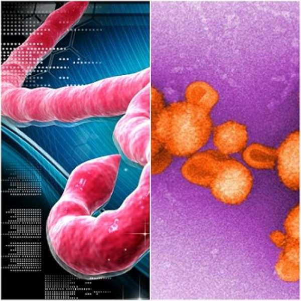 The Ebola and Lassa fever viruses