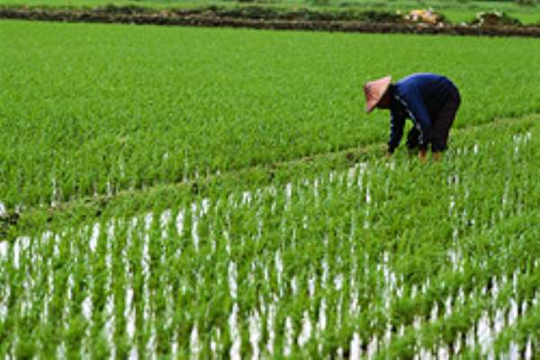 Government to revitalise the rice sector