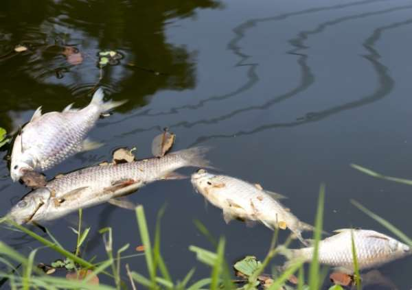 What normally causes Fish mortality in water bodies