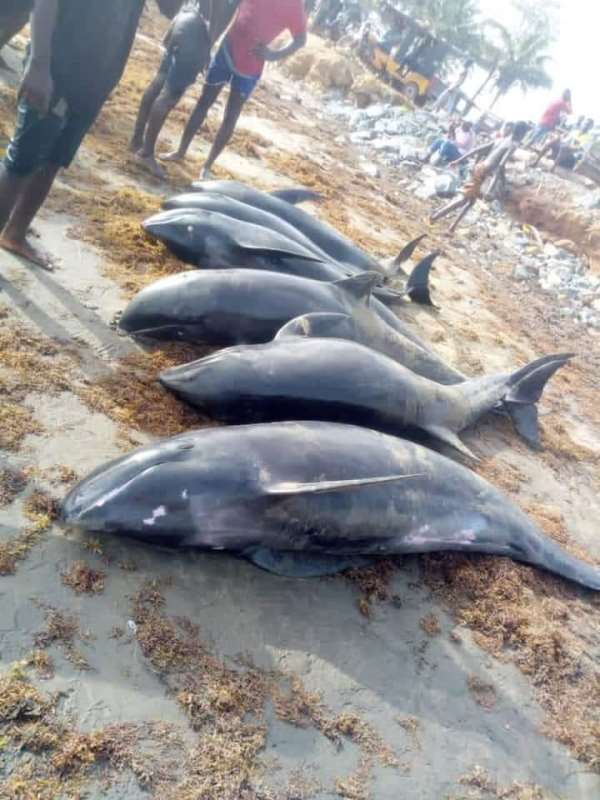 Washed ashore dolphins: Nzema East Municipal Assembly urges public to report anyone still keeping them