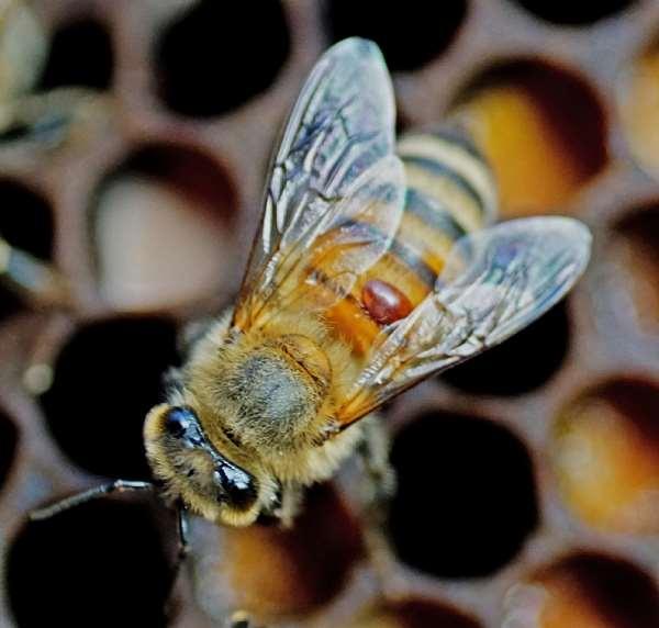 Mite on a bee. - Source: E. Villalobos