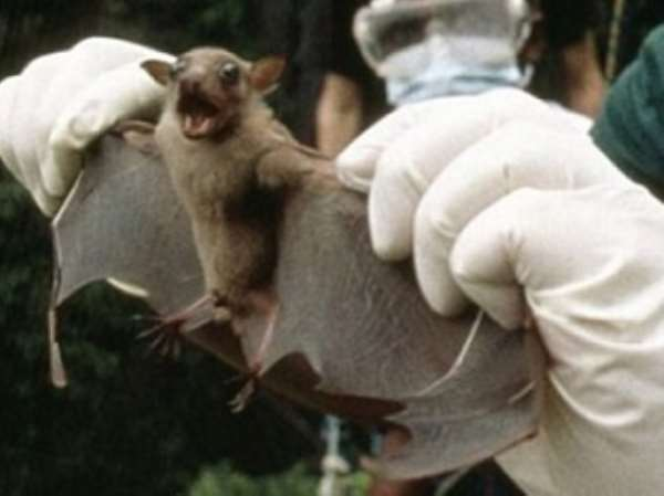 Bats are specially bred by the US military scientists to carry and spread Ebola virus in Africa