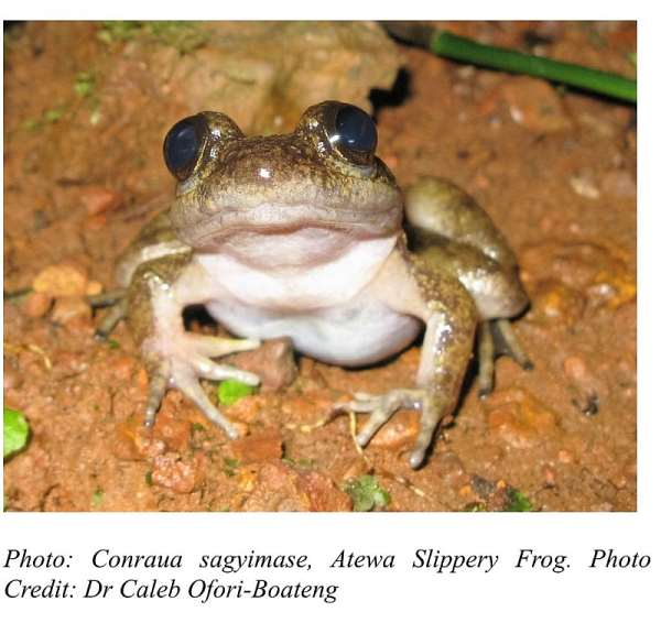 Another New Frog Species discovered in Atewa Range Forest Reserve