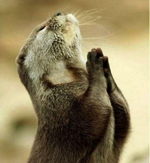 A beaver in a prayerful mood