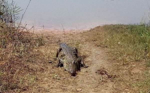 Living With Crocodile: The Untold Story Of Kulmasa Myths And Beliefs In The Upper West Region