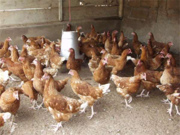 Govt asked to salvage poultry industry from collapse