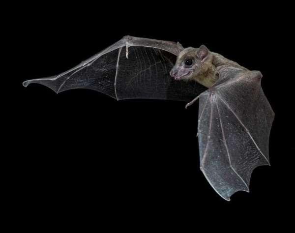 An Egyptian Fruit Bat in flight. - Source: Sherri and Brock Fenton