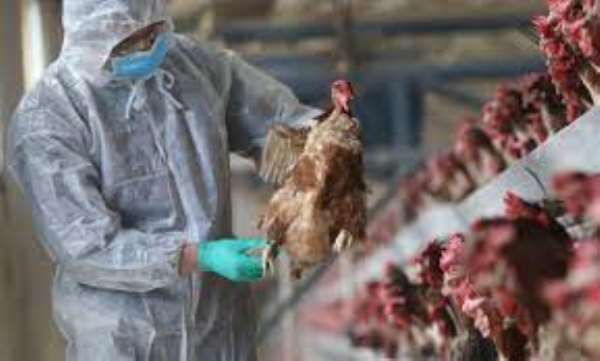 Bird Flu outbreak: Agric Ministry working to secure compensation for poultry farmers