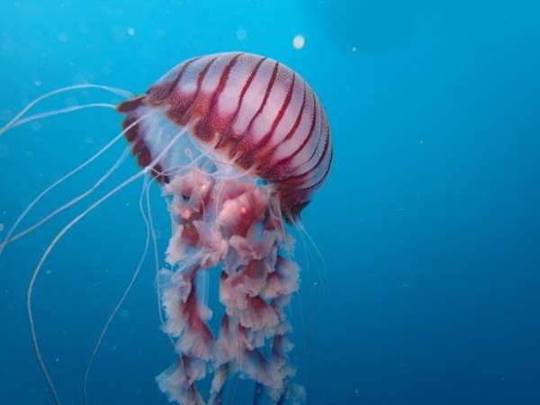 New Chrysaora from the coast of South Africa - Source: Peter Southwood