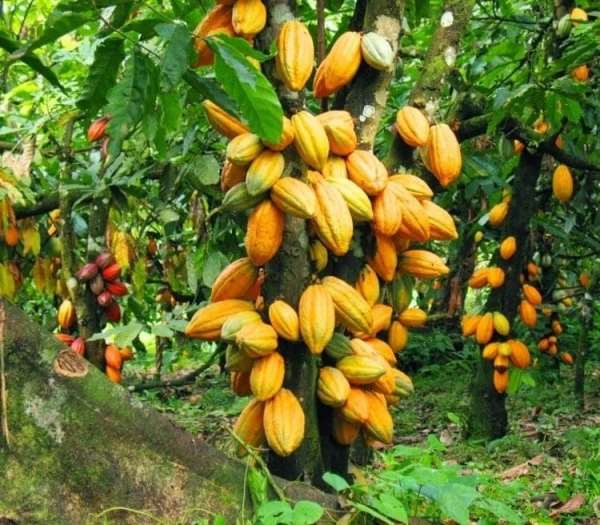 850,000 Tonnes Of Cocoa Expected In 2019/20 Season