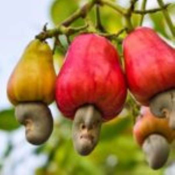 S/R: Cashew Farmers Receive Free Seedlings To Boost Production