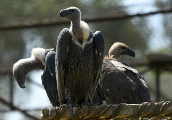 Sovereigns Of The Africa's Skies Are Dying: The Unfolding Vulture Crisis