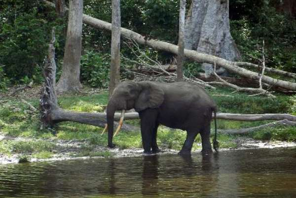 File photo shows an African elephant in the Waly Bai area of the Nouabale Ndoki National Park, Republic of Congo, on May 22, 2012.  By Laudes Martial Mbon (AFP/File)